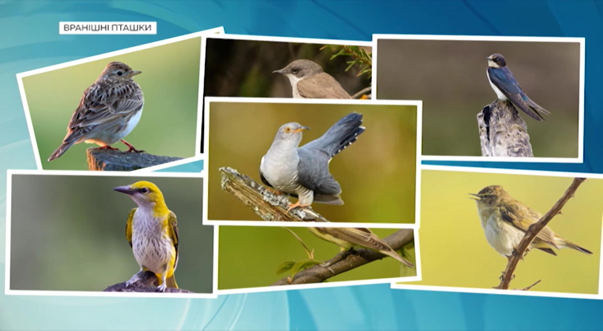 Чому співають птахи?