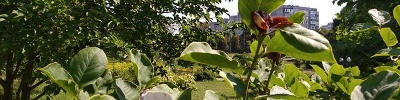 Серпневі сюрпризи: у Хмельницькому вдруге цвітуть магнолії